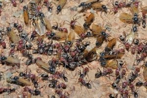 A Swarm of Ants Collecting Forest Detritus - Awakening Alchemy