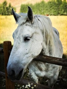 Grey Horse With Head Leaning Over Fence - Awakening Alchemy