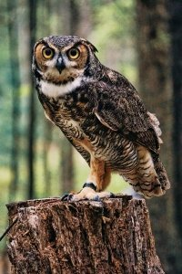 Frontal Picture of Owl on Branch - Awakening Alchemy