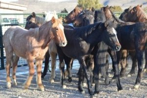 A Group of Young Horses Corralled Awaiting Adoption - Awakening Alchemy