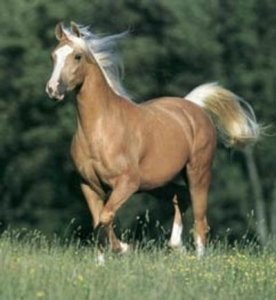 A Propud Palomino Horse Gallops - Awakening Alchemy