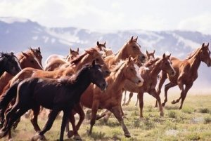 Wild Mustangs Run Free Surrounded by Mountains - Awakening Alchemy