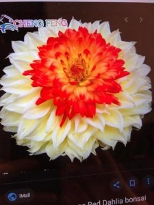 Multi-layered white petaled flower with red centre on black background - Awakening Alchemy