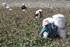Uyghur Peasant Forced to Pick Cotton Weighed Down and Stooped - Awakening Alchemy